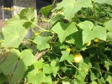 Summer Squash growing in the Edible Garden
